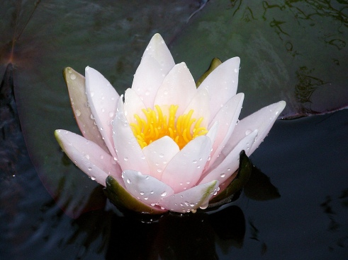 Lotus, Flower, Nature, Spirituality, Spiritual Meaning, Beautiful, Spiritual Clarity, Buddhism, Water Lilly