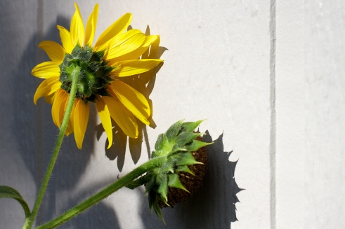 Sunflowers, Shamed, Shame, Shameful, Sad, Alan Levine, Flickr