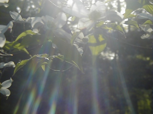 Sunlight, Dogwoods, Sun, Sunshine, Leaves, Nature, God, Beauty, Universe